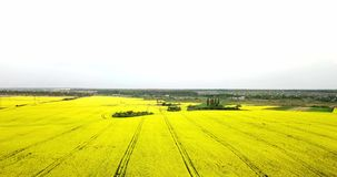 Endless rapeseed field fron the bird eye view. field. Yellow rapeseed fields and blue sky with clouds in sunny. Weather. Agriculture stock video footage