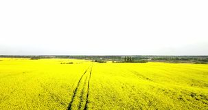 Endless rapeseed field fron the bird eye view. field. Yellow rapeseed fields and blue sky with clouds in sunny stock video