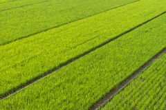 Endless Rice Fields Stock Photo