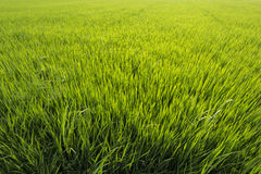 Endless Rice paddy in spring time Stock Photography