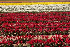 Endless Rows of Blooming Colorful Tulips in an Agricultural Land. Scape Royalty Free Stock Photos