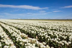 Endless Rows of Blooming White Tulips in an Agricultural Landsca. Pe Royalty Free Stock Image