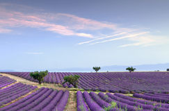 Endless rows of lavender. Trees in the rows of scented flowers in the lavender fields of the French Provence near Valensole Stock Photography