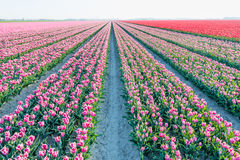 Almost endless rows of  pink blooming tulips in springtime Stock Images