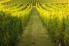Endless rows in a vineyard Stock Photo