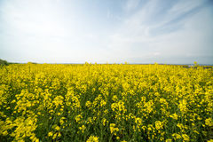 Endless sky and boundless field of flowering rape in Bulgaria Stock Photo
