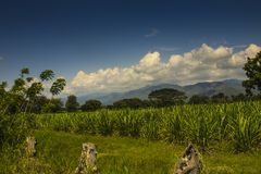 Landscape of valle del cauca en colombia. Endless sugar cane plantation,where I am working. in the distance the Andes,landscape of valle del cauca en stock photo