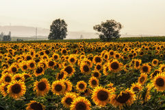 Endless sunflowers Royalty Free Stock Photography
