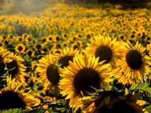 Endless Sunflowers Stock Photography