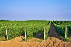 Endless vineyards rows Royalty Free Stock Images