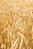 Endless wheat Royalty Free Stock Photos