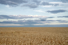 Endless wheat field Stock Images