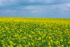 Endless yellow flowers field Stock Photography