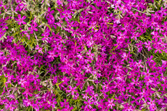 Endlessly many violet flowers in the garden Royalty Free Stock Image