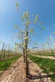 Endlose Reihen von Birnenbäumen Stockbild