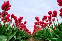 Endlose rote Tulpen-Reihen, blauer Himmel und Wolken Stockbild