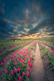 Endlose Tulip Field Lizenzfreies Stockfoto