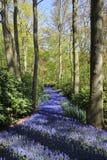 Endloses blaues Flussfeld gemacht von den violetten sch?nen Muscariblumen Fr?hlingszeit im Keukenhof-Blumengarten, die Niederland stockfotografie