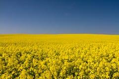 Endloses gelbes Canolafeld unter einem blauen Himmel Stockbilder