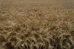 Endloses goldenes Getreidefeld im Herbst Stockfotografie