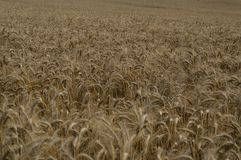 Endloses goldenes Getreidefeld im Herbst Lizenzfreie Stockfotografie