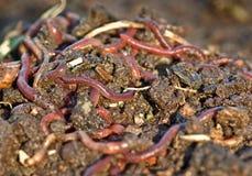 Endlosschrauben im Gartenschmutz Lizenzfreies Stockfoto