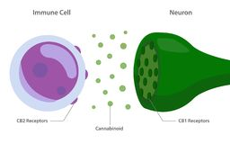 The endocannabinoid system with cannabinoid receptors between immune cell and neuron vector illustration