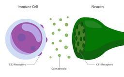 Endocannabinoidsystemet med cannabinoidreceptors mellan den immuna cellen och neuronen vektor illustrationer