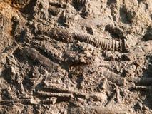 Endocerida du groupe de céphalopodes - le Paleozoicfossil inférieur avec les dépôts comme un cône photo stock