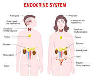 Endocrine system. Human anatomy. Man and woman silhouette with highlighted internal organs