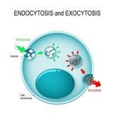 Endocytosis und Exocytosis in der Zelle lizenzfreie abbildung