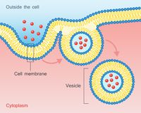 Endocytosis Vesicle Transport Cell Membrane. Endocytosis. Type of vesicle transport that carry very large molecules across the cell membrane. Vector illustration Royalty Free Stock Images