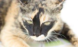 Endogamia Cat Portrait Fotografía de archivo libre de regalías