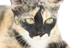 Endogamia Cat Portrait Imágenes de archivo libres de regalías