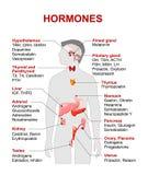Endokrin körtel och hormoner vektor illustrationer