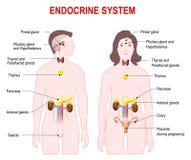 Endokrin körtelsystem vektor illustrationer
