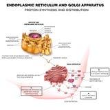 Endoplasmic nätmage och Golgi apparatur vektor illustrationer