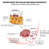 Endoplasmic reticulum and Golgi Apparatus Stock Photography