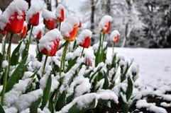 Endormi tombé par tulipes par la dernière neige Photographie stock libre de droits