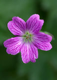 Endres cranesbill Stock Photography