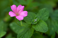 Endres cranesbill with leaves (lat. Geranium endressii) Royalty Free Stock Images