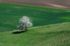 Endrino floreciente blanco en prado verde con marrón que un verde coloca Foto de archivo libre de regalías