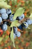 Endrinos azules (spinosa del Prunus) Fotos de archivo