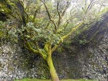 Endroit sacré d'arbre de Garoé avec des trous, EL Hierro, Îles Canaries, Espagne images libres de droits