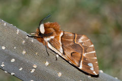 Endromis versicolora. Male of Kentish Glory, Endromis versicolora, photographed in nature stock images