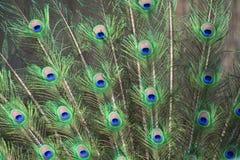 Endstück des Pfaus mit den grünen und blauen Augen stockbild