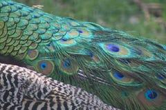 Endstück des Pfaus mit den grünen und blauen Augen lizenzfreies stockbild