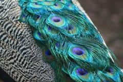 Endstück des Pfaus mit den grünen und blauen Augen lizenzfreies stockfoto