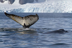 Endstück und Rückseite von zwei Buckelwalen, die im Hintergrund schwimmen Stockfotos