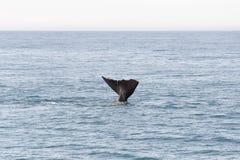 Endstück vom Wal, der in den Ozean in Kaikoura, Neuseeland einsteigt stockfoto